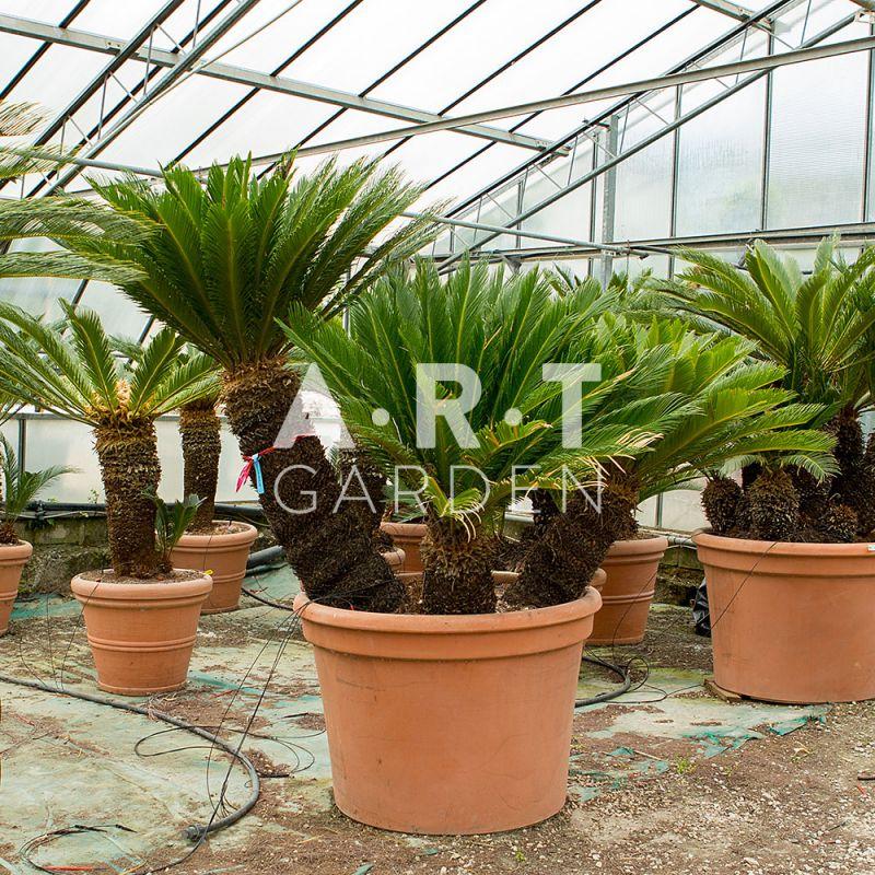 Arbuste original cycas revolutas semblable un palmier nain for Quel palmier en pot exterieur