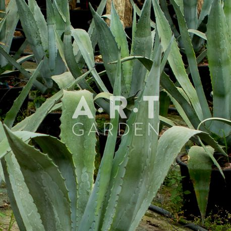 Agave Americana pour patio 80 cm Container 25L