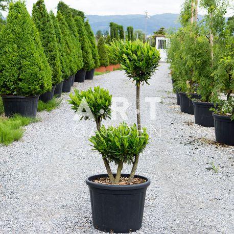 Prunus Otto Luiken Pon Pon 3 boules Hauteur 120 C70L