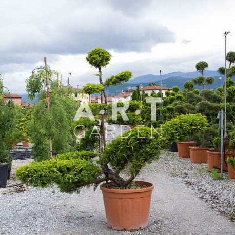 Juniperus PFIT AUREA Bonsai 180-200 cm Container 110 L