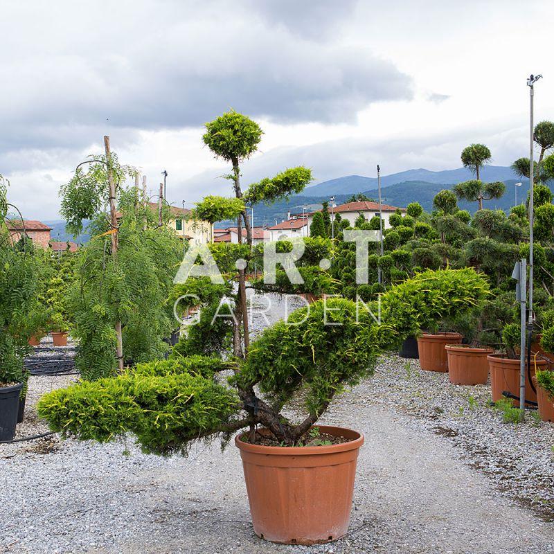grand arbre nuage pour jardin et terrasse juniperus pfit aurea. Black Bedroom Furniture Sets. Home Design Ideas