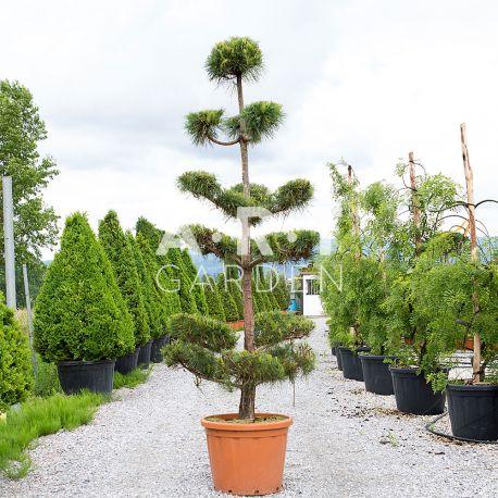Pinus Sylvestris Ponpon Nuage Hauteur 180-200 Container 110L
