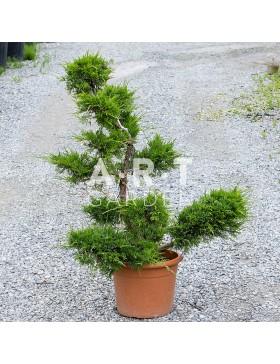 Juniperus Pfitzeriana Bonsai hauteur 90 cm container 115L