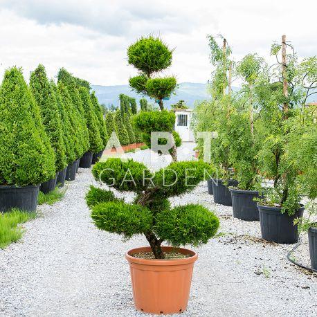 Arbre nuage de grande taille pour ext rieur juniperus - Arbre exterieur ...