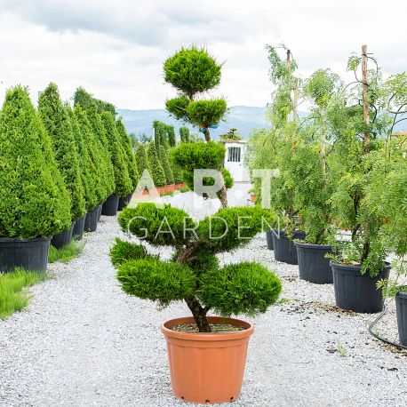 arbre nuage de grande taille pour ext rieur juniperus fitzeriana. Black Bedroom Furniture Sets. Home Design Ideas