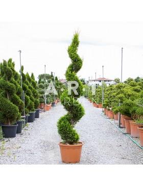 Cupressocyparis Cast gold spirale hauteur 240/250 Container 70L