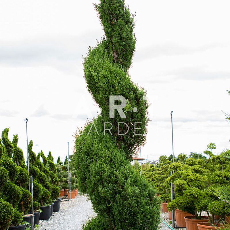 Cupressus en spirale pour un jardin chic avec l 39 art topiaire for Decoration jardin spirale