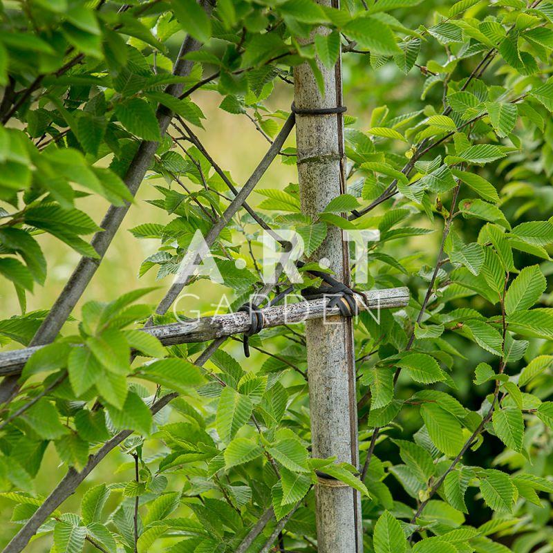 carpinus betulus palis 300 cm haut x 150 cms large art garden. Black Bedroom Furniture Sets. Home Design Ideas