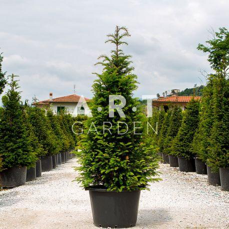 Taxus en forme conique hauteur 250/275 container 230 L baccata