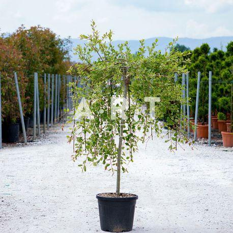 Salix caprea pendula en demi tige Hauteur 80/100 container 30L