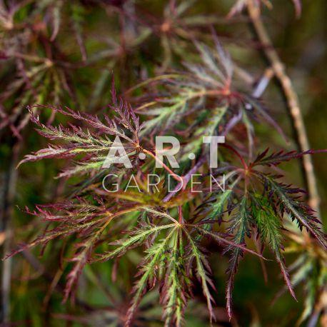 Erable du japon Acer palmatum 'Disectum Inaba Shidare'