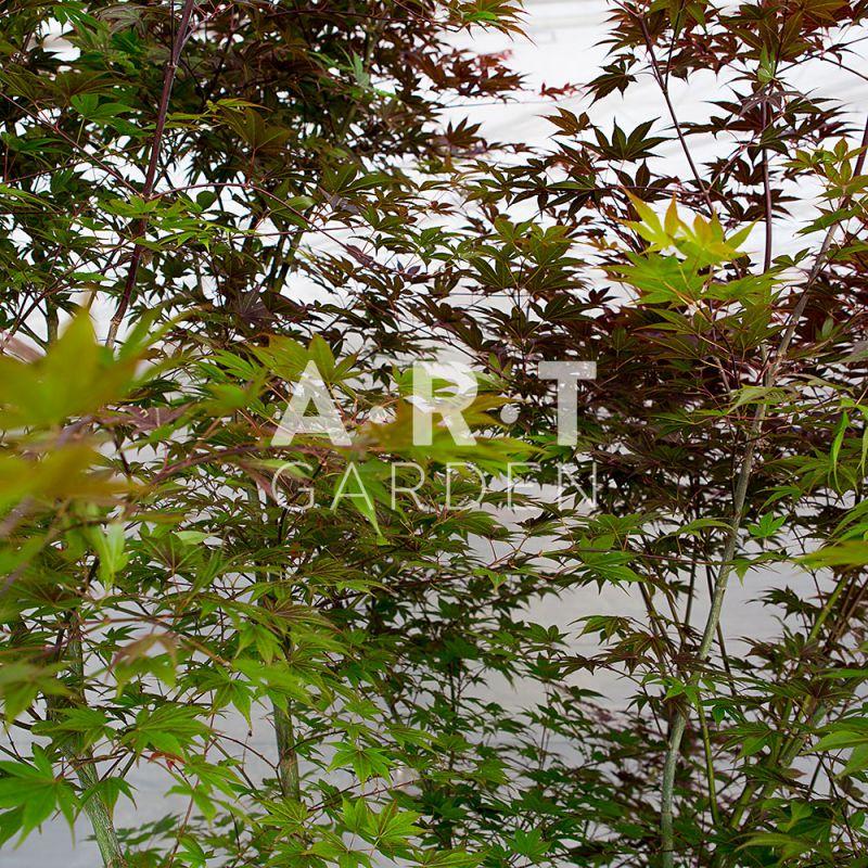 L 39 acer palmatum yezo nishiki est ideal pour les jardins et terrasses - Erable du japon acer palmatum ...