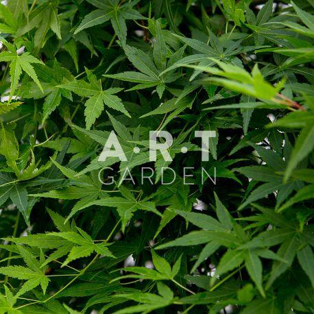 Erable du japon Acer palmatum Ryusen