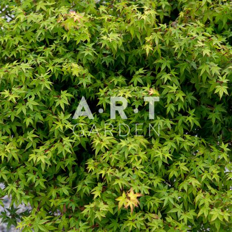 Erable du japon Acer palmatum 'Little Princess'