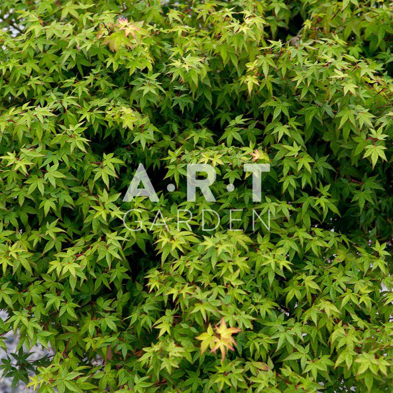 Erable du japon taille moyenne acer palmatum little princess - Erable du japon acer palmatum ...