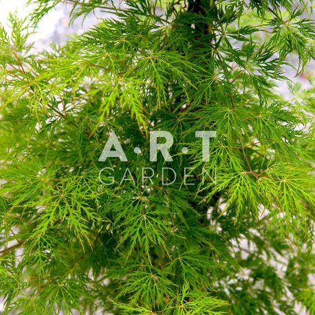 Acer palmatum ellen arbre remarquable pour l 39 exterieur - Erable du japon acer palmatum ...