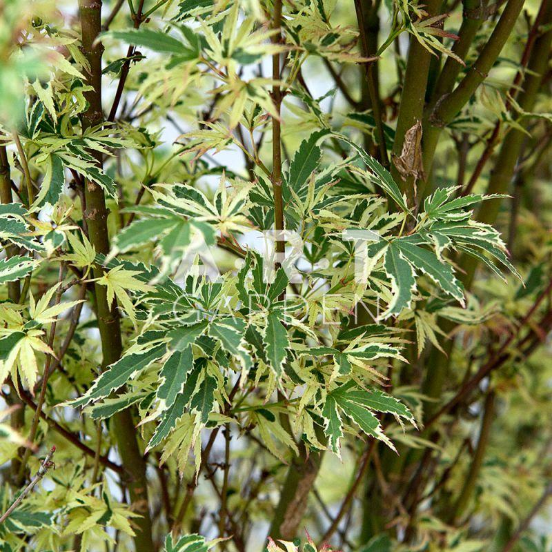 Arbuste original et decoratif acer palmatum butterfly - Erable du japon acer palmatum ...