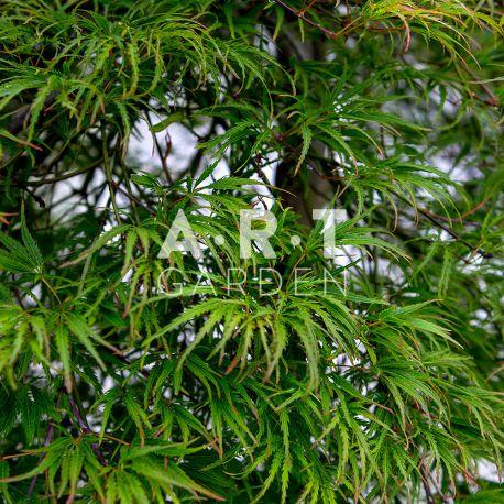 Érable du Japon Acer Palmatum Dissectum Palmatifidum