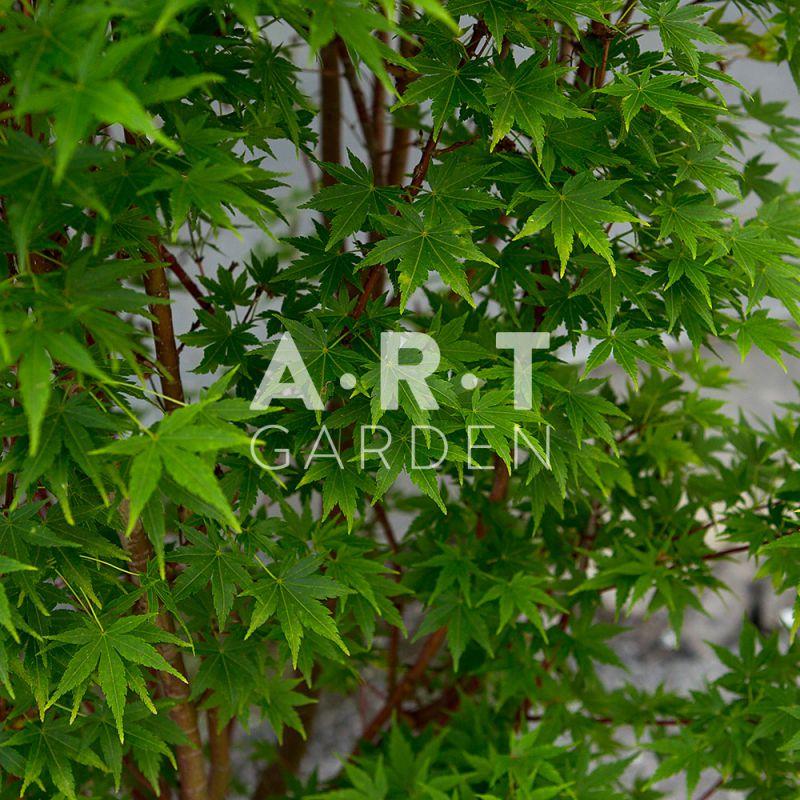 Decorez votre petit jardin et terrasse avec acer palmatum red wood - Erable du japon acer palmatum ...