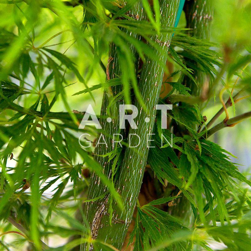 Livraison par art garden erable acer palmatum dissectum viride - Erable du japon acer palmatum ...