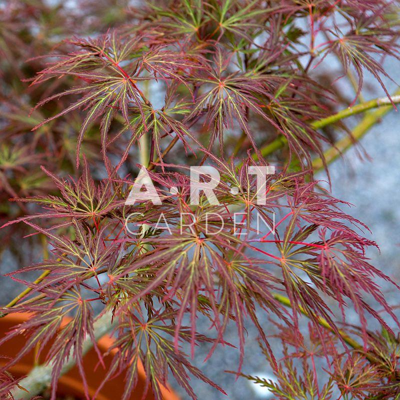 Erable du japon decoratif acer palmatum emma - Erable du japon acer palmatum ...
