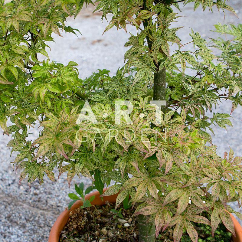Acer palmatum ukigumo arbuste original pour vos exterieurs - Erable du japon acer palmatum ...