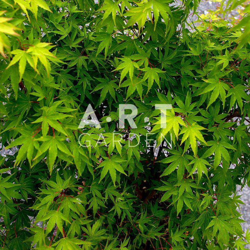 Acer palmatum sangokaku ideal pour terrasse et jardin - Erable du japon acer palmatum ...