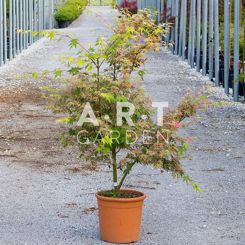 erable du japon acer palmatum beni schichi henge pour pots et jardins. Black Bedroom Furniture Sets. Home Design Ideas