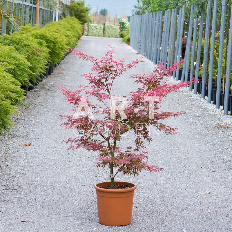 Erable tendance pour d corer jardin acer palmatum pink passion - Terre pour erable du japon ...