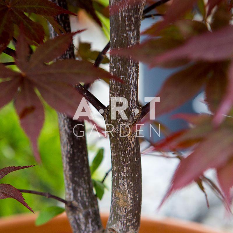 Plantation arbuste erable acer palmatum shojo nomura jardin terrasse - Erable du japon acer palmatum ...