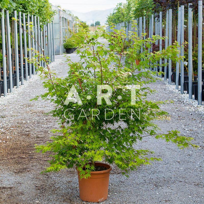 Acer palmatum oridono nishiki erable du japon decoratif - Erable du japon acer palmatum ...