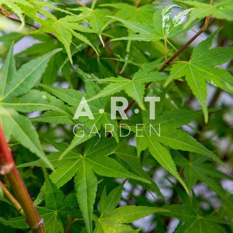 Erable du japon Acer palmatum 'Oridono-nishiki'