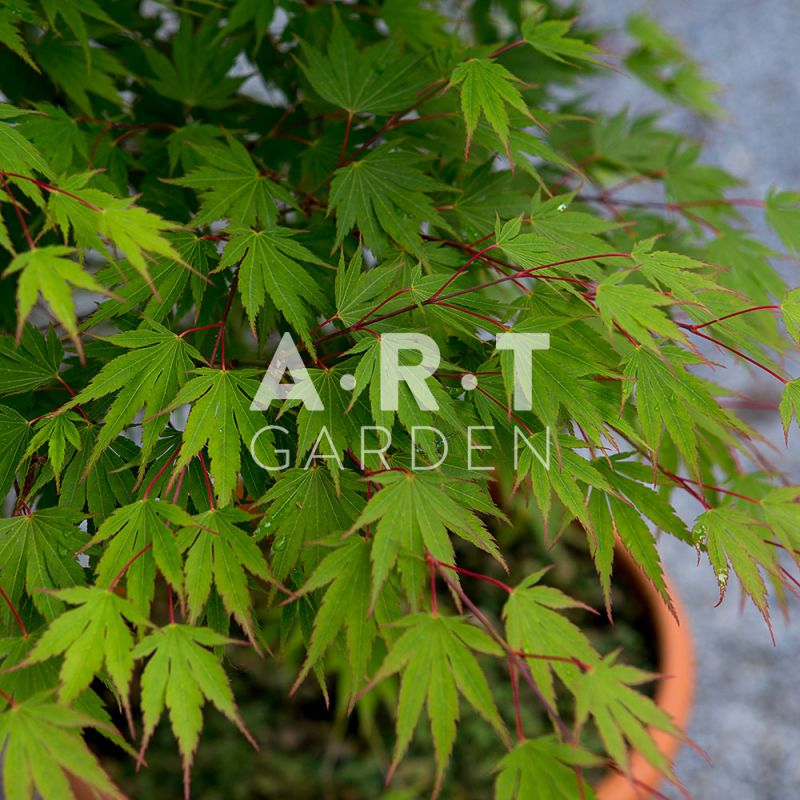 Arbre decoratif acer palmatum jazanami - Erable du japon acer palmatum ...