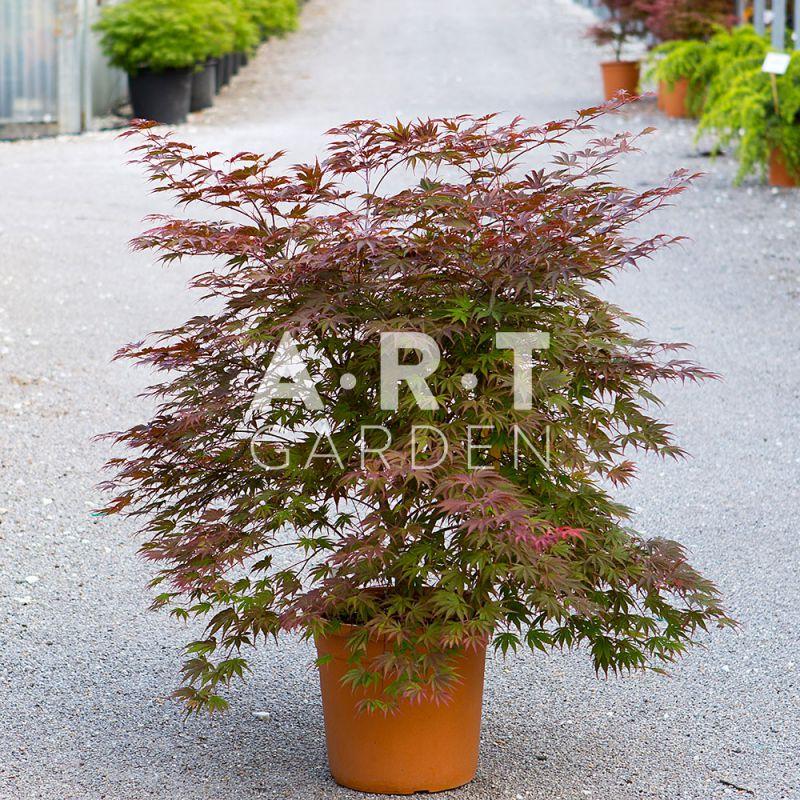 Erable acer palmatum nathan pour jardin chic et moderne - Erable du japon acer palmatum ...