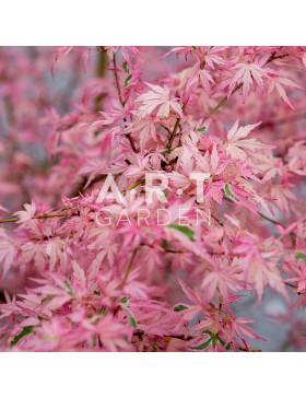 Erable du japon Acer palmatum Taylor