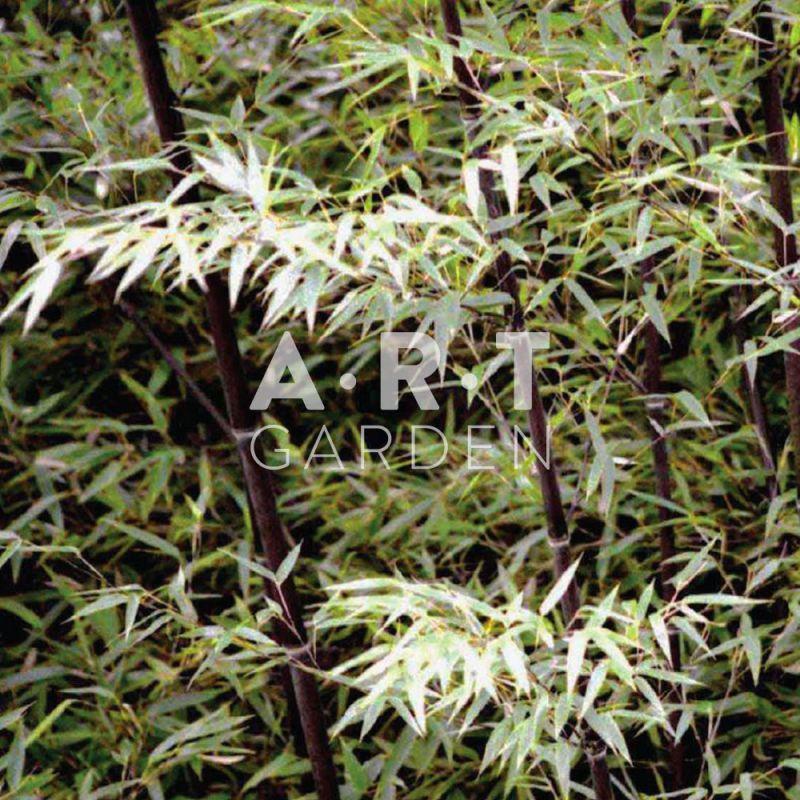 acheter bambou tra ant phyllostachys nigra noir pas cher. Black Bedroom Furniture Sets. Home Design Ideas