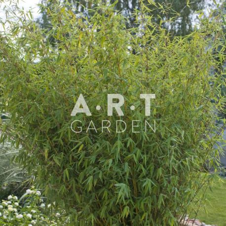 Bambou Non Traçants Fargesia Angustissima