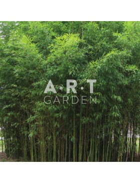 p pini re en ligne bambous prix grossistes art garden. Black Bedroom Furniture Sets. Home Design Ideas