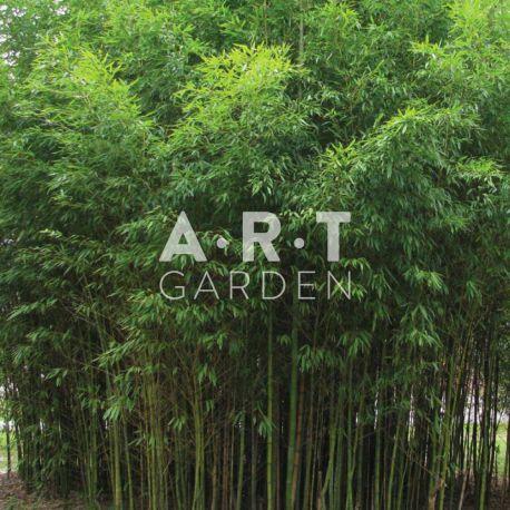 Bambou Traçant Phyllostachys aurea