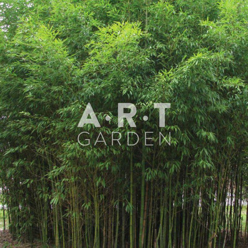 le bambou phyllostachys aurea est tr s d coratif. Black Bedroom Furniture Sets. Home Design Ideas