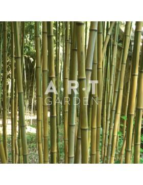 Bambou Traçant Phyllostachys aureosculata Alata