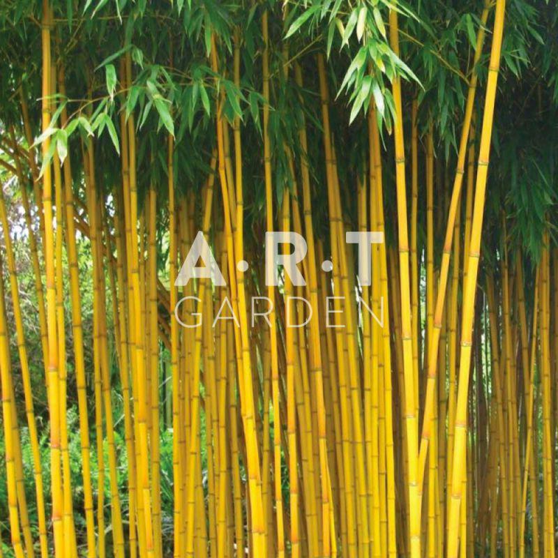 plantez bambou tra ant phyllostachys aureosculata aureocaulis jardin. Black Bedroom Furniture Sets. Home Design Ideas