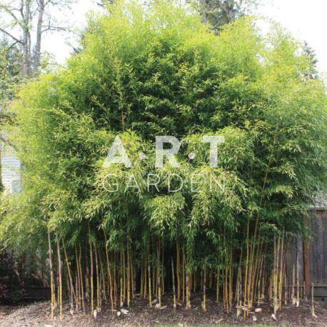 Bambou Traçant Phyllostachys aureosculata Spectabilis