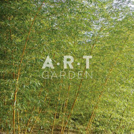 Bambou Traçant Phyllostachys bissetii