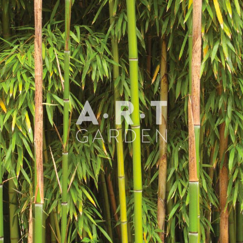 acheter bambou tra ant phyllostachys bissetii. Black Bedroom Furniture Sets. Home Design Ideas