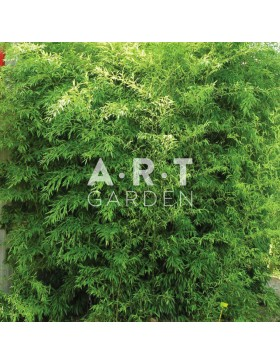 Bambou Traçant Phyllostachys humilis