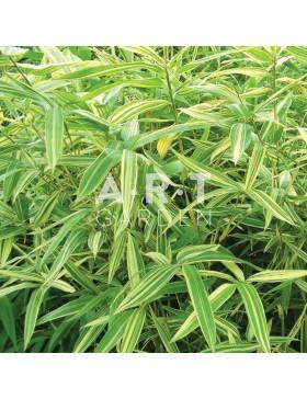 Bambou Nain Traçant Pleioblastus variegatus
