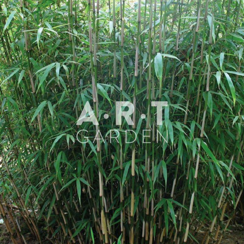 haie de jardin en bambou tra ant pseudosasa japonica. Black Bedroom Furniture Sets. Home Design Ideas