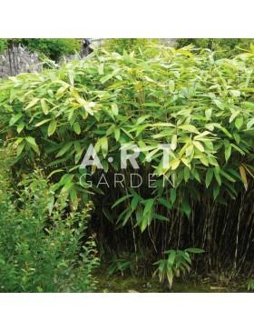 Bambou Traçant Sasa palmata Nebulosa