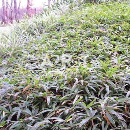 Bambou Traçant Sasaella masamuneana